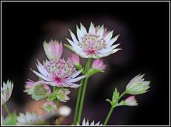 Astrantia Major (CliveDodd) Tags: major alba astrantia