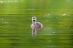 Ile Bizard (VLADIMIR NAUMOFF) Tags: canada nature birds nikon quebec rapids monttremblant ilebizard vladimirnaumoff