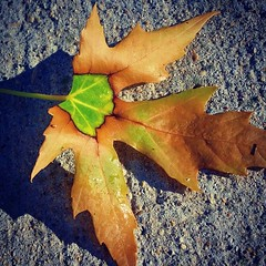 As Spring Turns to Summer (BenRogersWPG) Tags: park shadow summer plant canada macro tree nature strange beautiful leaves june closeup concrete outdoors leaf spring maple colorful winnipeg natural outdoor samsung center manitoba note growth changing galaxy mapleleaf mapletree dual lovely midway turns multicolor android coronation coronationpark seasonschange as greencenter midbloom instagram samsunggalaxynote asspringturnstosummer