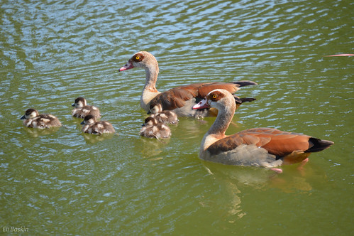 ההורים שומרים על הברווזונים