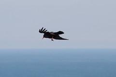 Chaugh at Loop Head  IMG_1297 (grebberg) Tags: bird crow fugl chough pyrrhocoraxpyrrhocorax pyrrhocorax krke alpekrke