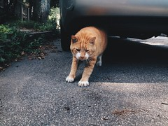 178/365  {Explored 7/1/2014} (moke076) Tags: street atlanta orange dog oneaday animal mobile cat georgia friend flickr tabby cellphone cell kitty scene stretch explore photoaday local 365 cabbagetown downward iphone 2014 project365 explored 365project vsco vscocam