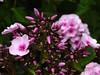 Phlox . (Franc Le Blanc .) Tags: flowers nature closeup garden lumix flora panasonic phlox lovelyflickr