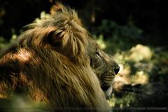 DSC_9238 (florent-photographie) Tags: zoo nikon king lion tamron nikond7100