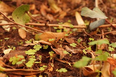 clovers (Starista Jacobsen) Tags: winter green nature garden natural invierno clover clovers jardín trebol treboles