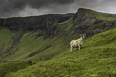 Sheepy (jim-green777) Tags: uk greatbritain holiday skye landscape outdoors scotland nikon sheep isleofskye july fullframe fx creatures 2014 oldmanofstorr amimals storr d610 jimgreenphotographer