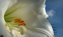 Verso il sole.. (anton) Tags: sardegna flower macro nuvole cielo fiore petali sassari lilium foursesons photoroom anton veryflickr weloveart whiteiswhite gigliobianco onlymyfavorite incognitogroup flickronmymind