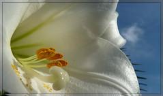 Verso il sole.. (antonè) Tags: lilium gigliobianco fiore macro flower cielo nuvole petali sassari sardegna antonè