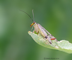 Scorpion Fly (Crazybittern1) Tags: insects scorpionfly sigma70300mmmacro foulshawmoss nikond7000 cumbriawildlifetrust