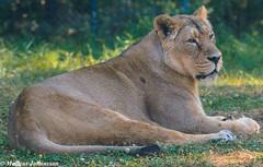 Female Lion at Parken Zoo