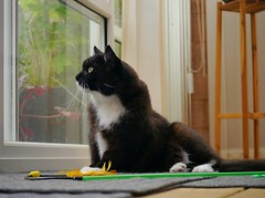 Tussi sees something... (vanstaffs) Tags: t tuxedocat tux tussi tuzz tuxedogirl myprettytuxedogirl tuzz®
