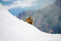 DSC_3268 (raqueerivera) Tags: snow animals washington wildlife portangeles marmots hurricanehilltrail