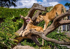 Yawning lion (toriwold) Tags: copenhagen denmark zoo yawn sleepy loion