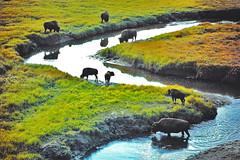 Yellowstone NP; Hayden Valley; (blacky_hs) Tags: road park usa water river buffalo falls national valley yellowstone hayden geyser bison mäander wisent büffel platinumheartaward bisonbüffel