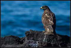Galapagos Hawk (maguire33@verizon.net) Tags: bird ecuador hawk wildlife galapagos raptor endemic galapagoshawk