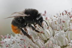 Bee red tailed  Medstead 19.7.2014 (Margaret the Novice) Tags: bees