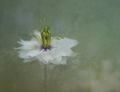 white love in a mist (karenkimins) Tags: white flower art texture garden textures faded textured artistry absolutegoldenmasterpiece