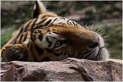 Big Siesta (FocusPocus Photography) Tags: animal zoo tiger bigcat siesta tiergarten tier nuernberg pantheratigrisaltaica sibiriantiger sibirischertiger groskatze