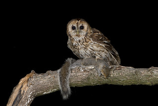 Tawny Owl (Strix aluco) Grey Squirrel (Dinner)