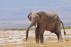 Young Elephant Bull - 6983b+ (jenonsafari) Tags: elephant pee landscape october funny savannah peeing amboseli kenyasafari africansafari landscapephotography africanwildlife africasafari 2013 kenyaafrica africanlandscape africawildlife maleelephant africalandscape kenyawildlife savannahplains amboseliplains