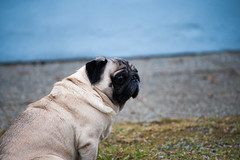 Outside (metalge4r32) Tags: outdoor flower flora animal nature grass green pet pug