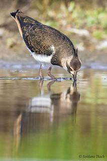 Vanellus vanellus / Northern lapwing / Чибис / Vibe