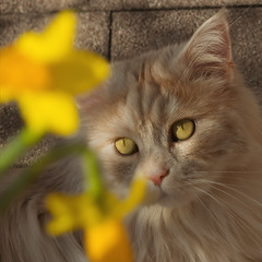 Flowers ..... how cool ! (FocusPocus Photography) Tags: linus katze kater cat chat gato tier animal haustier pet blume flower narzisse daffodil