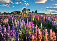 The+Lupins+In+Spring