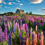 The Lupins In Spring thumbnail
