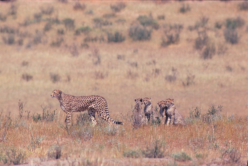 Cheetah Female with four younsters, Nossob River, Kgalagadi National Park 1766