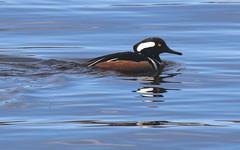 Hooded Merganser (vischerferry) Tags: hoodedmerganser duck bird hudsonriver river divingduck washingtoncounty newyorkstate reflection merganser lophodytescucullatus