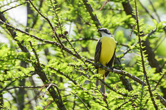 Luis gregario / Social Flycatcher (Myiozetetes similis) (elrayman210) Tags: luisgregario socialflycatcher myiozetetessimilis bird ave pajaro bienteveosociable nikon d3300