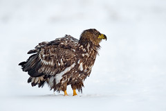 White-tailed Eagle in the white stuff (Mr F1) Tags: whitetailedeagle wte johnfanning snow raptor wild nature outdoors detail closeup fluffy feathers icecold