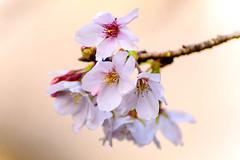 Cherry Blossoms (Somei-Yoshino) : ソメイヨシノ(染井吉野) (Dakiny) Tags: 2017 spring march japan kanagawa yokohama aoba ichigao outdoor nature field plant tree flower cherry blossom cherryblossoms yoshino someiyoshino bokeh nikon d7000 tamron 70300mm sp70300mmf456divcusd a005 modela005 nikonclubit
