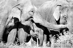 Elephants in Sri Lanka (Louise Denton) Tags: sri lanka kaudulla national park jeep safari tour travel elephants wildlife black white family mono