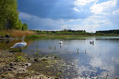 spring as it is... (JoannaRB2009) Tags: spring nature light sunlight clouds weather colours swans birds reflections tree trees pond łódzkie lodzkie polska poland zgniłebłoto animal blue landscape view
