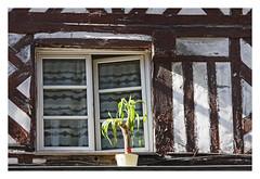 La plante verte -  The green plant (diaph76) Tags: france normandie calvados honfleur extérieur fenêtres windows maison houses murs wall colombages halftimbered plante pot rideaux curtains