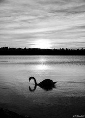 Réflection en monochrome (Fréd.C) Tags: cygne reflection bw black white noiretblanc shadows pmbres sunset france french stpoint lac lake