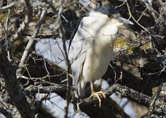 Black-crowned Night-Heron_8745 (Mike Head - Jetwashphotos) Tags: heron blackcrowned nightheron blackcrownednightheron marsh ponds awake preparation delta southdelta bc britishcolumbia canada westerncanada