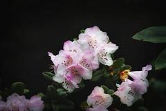 Early pink rhodo (mysticislandphoto) Tags: plants flower rhododendron rhodo pink vancouverisland doublefantasy