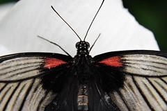 Papillons en Liberté 2017 - Photo 44 (Le Chibouki frustré) Tags: nikon nikond700 d700 700 fx fullframe montréal montreal homa hochelagamaisonneuve macro macrophotographie botanicalgarden jardinbotanique jardinbotaniquedemontréal montrealbotanicalgarden butterfly insect insects bokeh dof pdc papillonsenliberté2017 butterfliesgofree2017 closeuplens closeupfilter