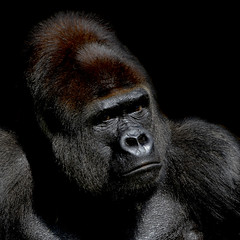 Gorilla portrait - CLK (asterix_93) Tags: portrait color eyes light nikon face head dark nose male big key low primate gorilla mouth ape d7000