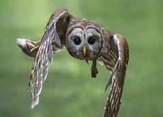 The Thief (PeterBrannon) Tags: bird birdphotography florida hillsboroughcounty nature strixvaria tampa wildlife barredowl owl portrait