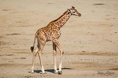 Shafira (ToddLahman) Tags: shafira giraffe baby babygiraffe closeup mammal beautiful girl sandiegozoosafaripark safaripark canon7dmkii canon canon100400 escondido outdoors