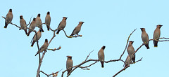 Waxwings, Derbyshire