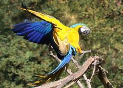 Gold & Blue (Ger Bosma) Tags: 2mg141497 blauwgeleara araararauna blueandyellowmacaw blueandgoldmacaw gelbbrustara arableu arableuetjaune guacamayoazulamarillo guacamayoazulyamarillo papagayoamarillo parabaazulamarillo southamerican macaw parrot inflight landing touchingdown touchdown incoming action speed wings