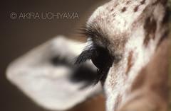 ZOO0012-3 (Akira Uchiyama) Tags: 動物たちのいろいろ 目 目キリン