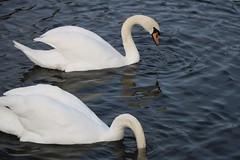 225 (AO'Brien) Tags: arklow wicklow autumn birds swan