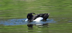 Tufted Duck (gillsfanjohn) Tags: tufted duck