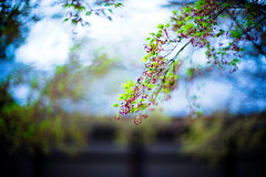 Sprout (moaan) Tags: himeji hyogo japan jp momiji aomomiji japanesemaple green springtime april bokeh dof utata 2017 leica mp leicamp type240 noctilux 50mm f10 leicanoctilux50mmf10